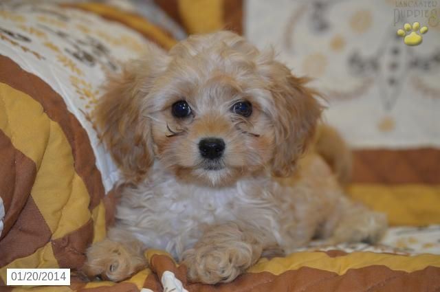 Cavapoo Puppy For Sale I Think I Want A Puppy Cavapoo