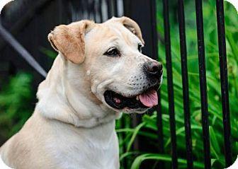 Pin By Maya Rush On Dogs Labrador Retriever Labrador Retriever