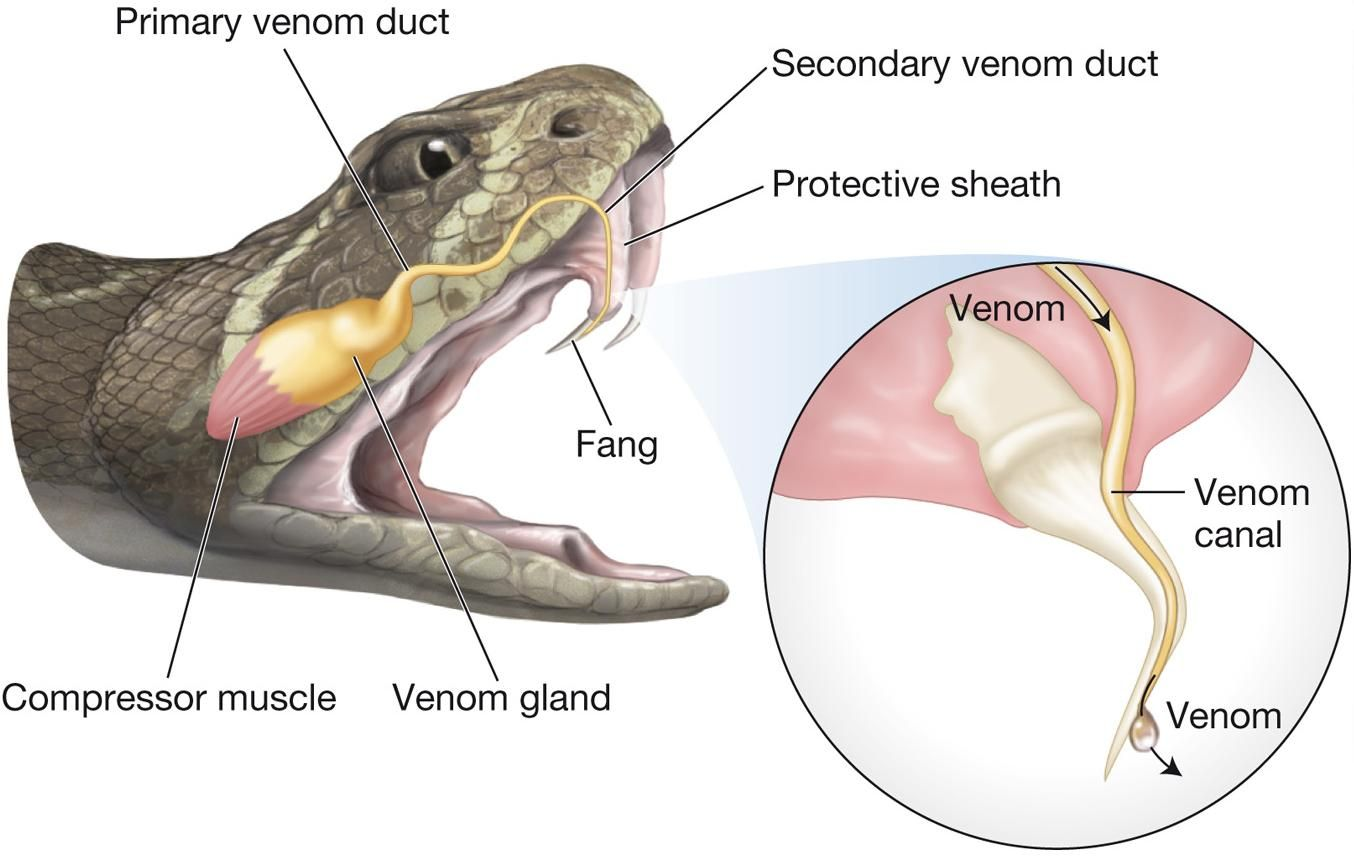 Diagram Of Snakes Mouth Electrical Wiring Snake Skeleton Labeled Venomous Fangs Serpentes Venom Rh Pinterest Com Grasshopper