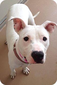 Joplin, MO - Pit Bull Terrier Mix. Meet Allie 84165, a dog for adoption. http://www.adoptapet.com/pet/11500868-joplin-missouri-pit-bull-terrier-mix