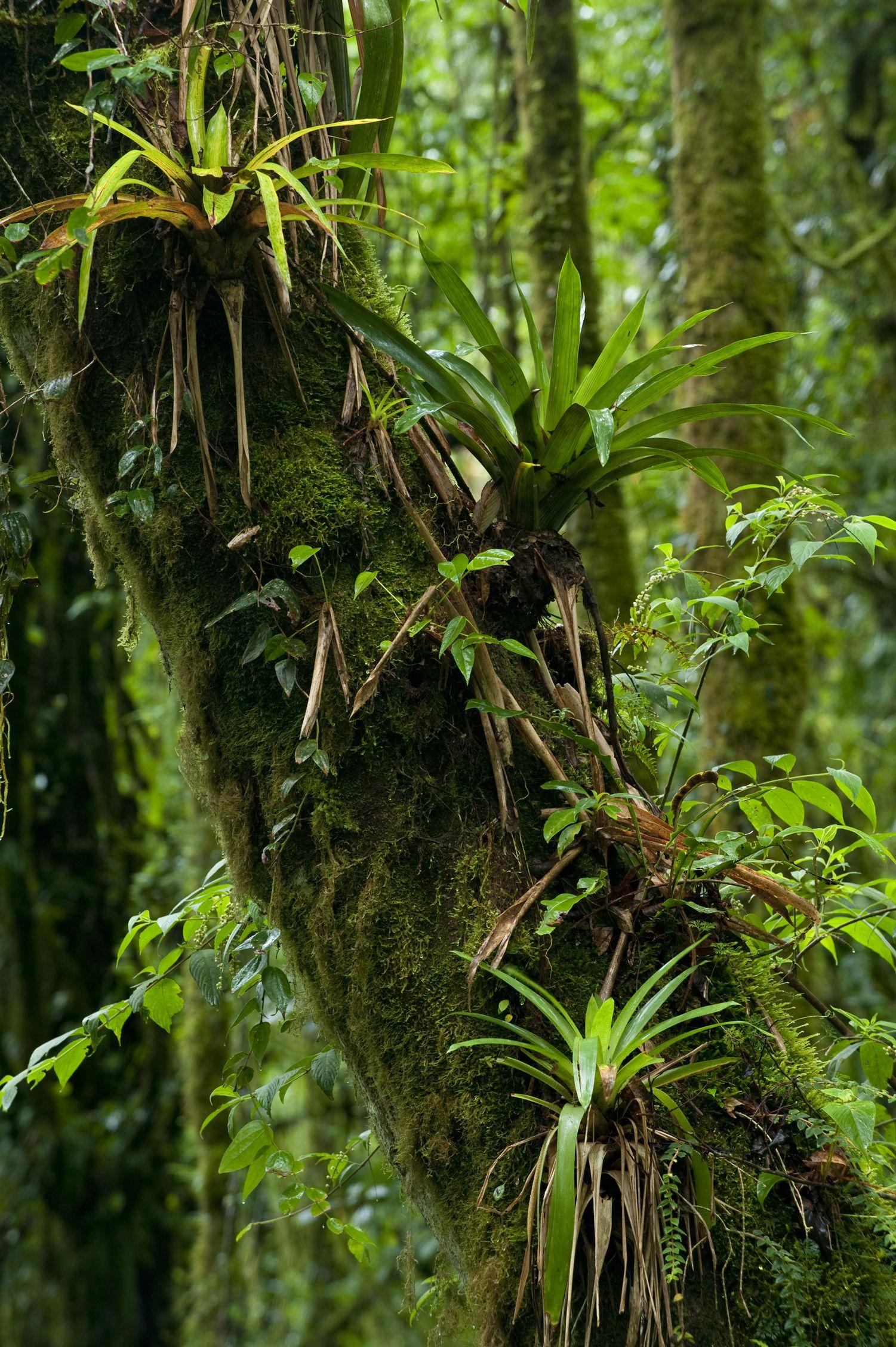 Beautiful Bromeliads Rainforest plants, Tree forest