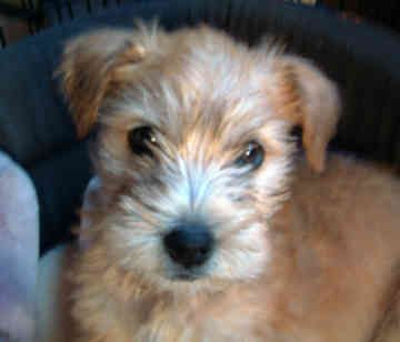 terrier poodle mix | Wheaten+terrier+poodle+mix+for+sale ...