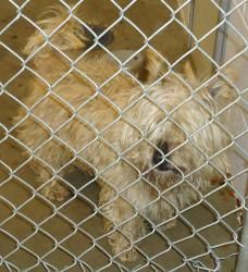 13-0321 is an adoptable Cairn Terrier Dog in Emporia, KS. Found in the 500 block of Neosho. Not sure if this is a male or female and right now it's too matted to be messed with.