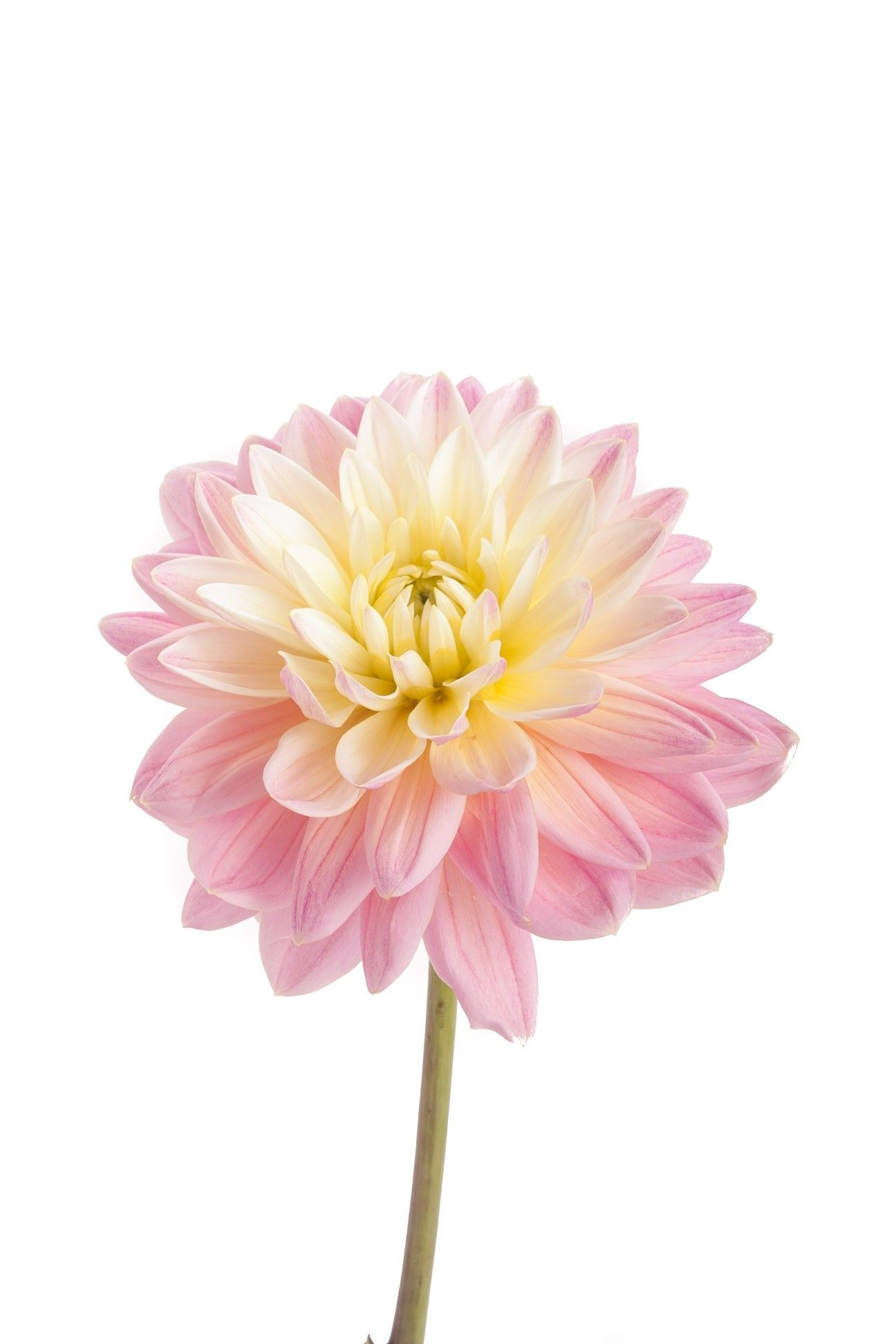 Cream And Light Pink Dahlia Flowers Types Of Flowers Amazing Flowers Flowers