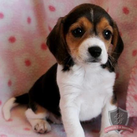 Lizza The Female Beagle New Jersey Beagle Breeders Beagle