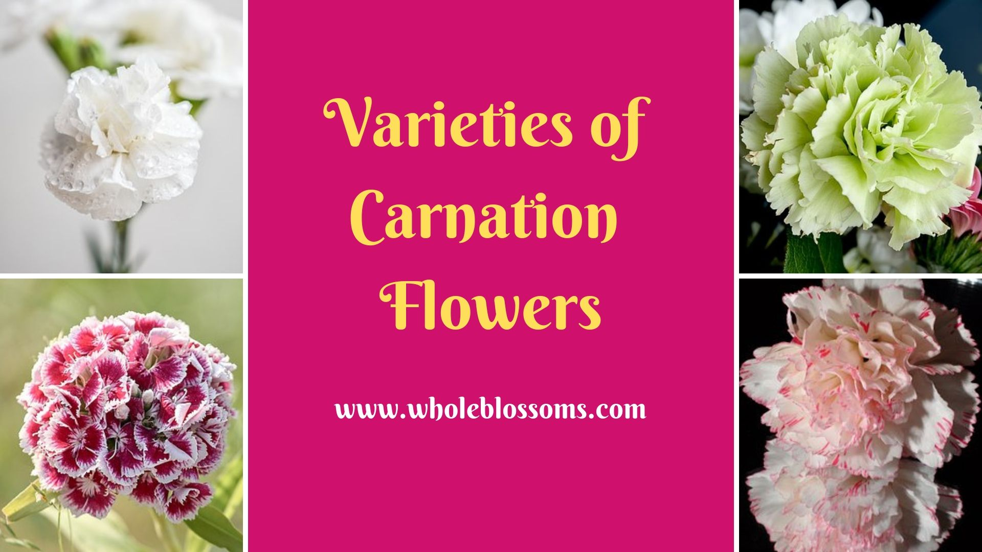 Get Multiple Colors Of Carnations Flowers Carnation Flower Flowers For Sale Carnations