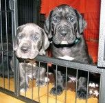Black And Blue Great Dane Puppies For Sale Mumbai India Dane