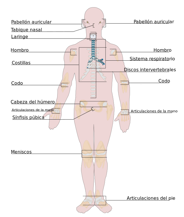 Capítulos de Anatomía del Dr. Tulp: Los tejidos celulares ...