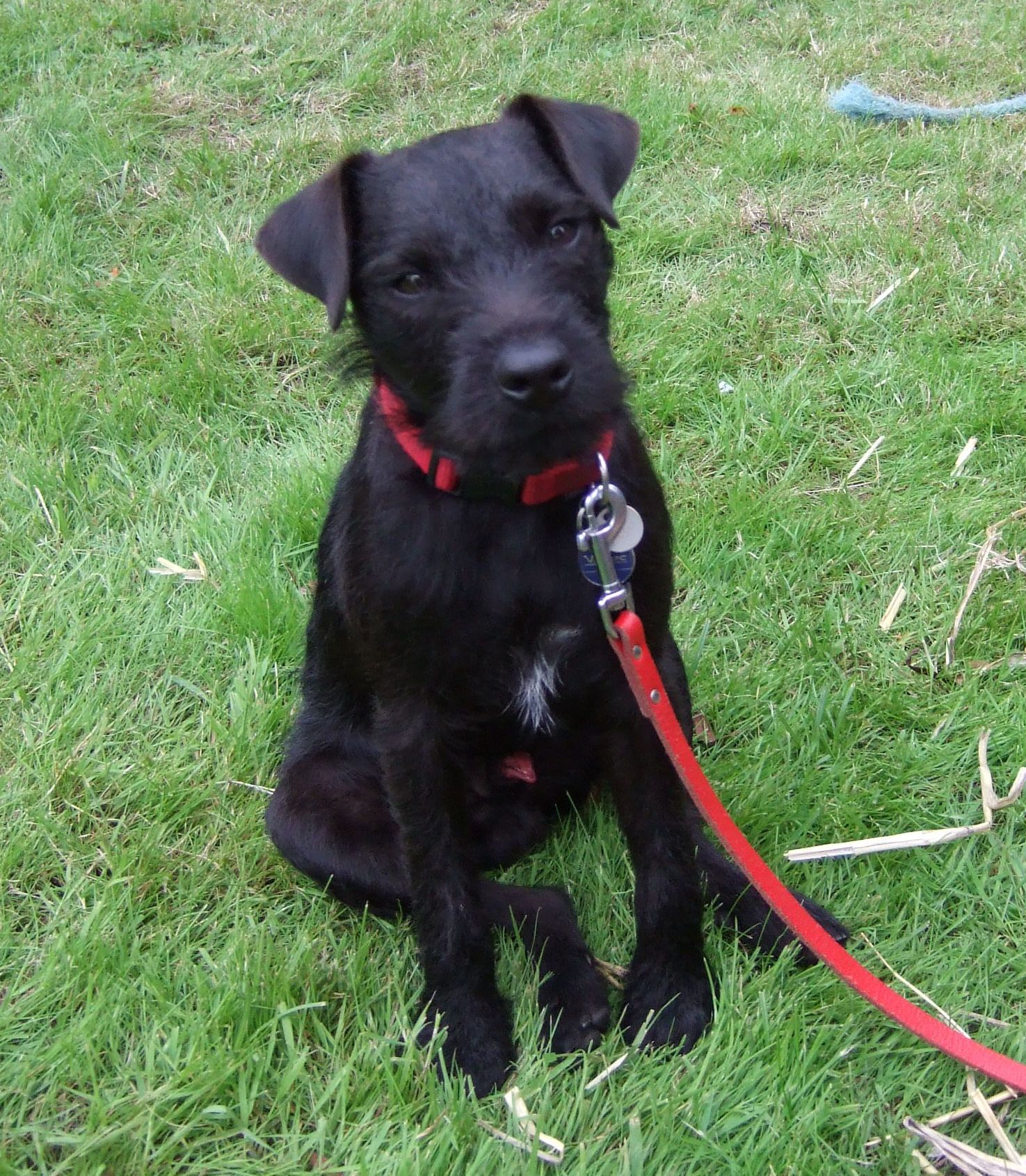Patterdale Terrier Old School Tartan Stud Dogs Cambridgeshire