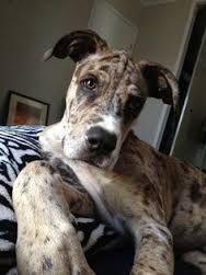 Image Result For Bull Daniff Unique Dog Breeds Rare Dog Breeds