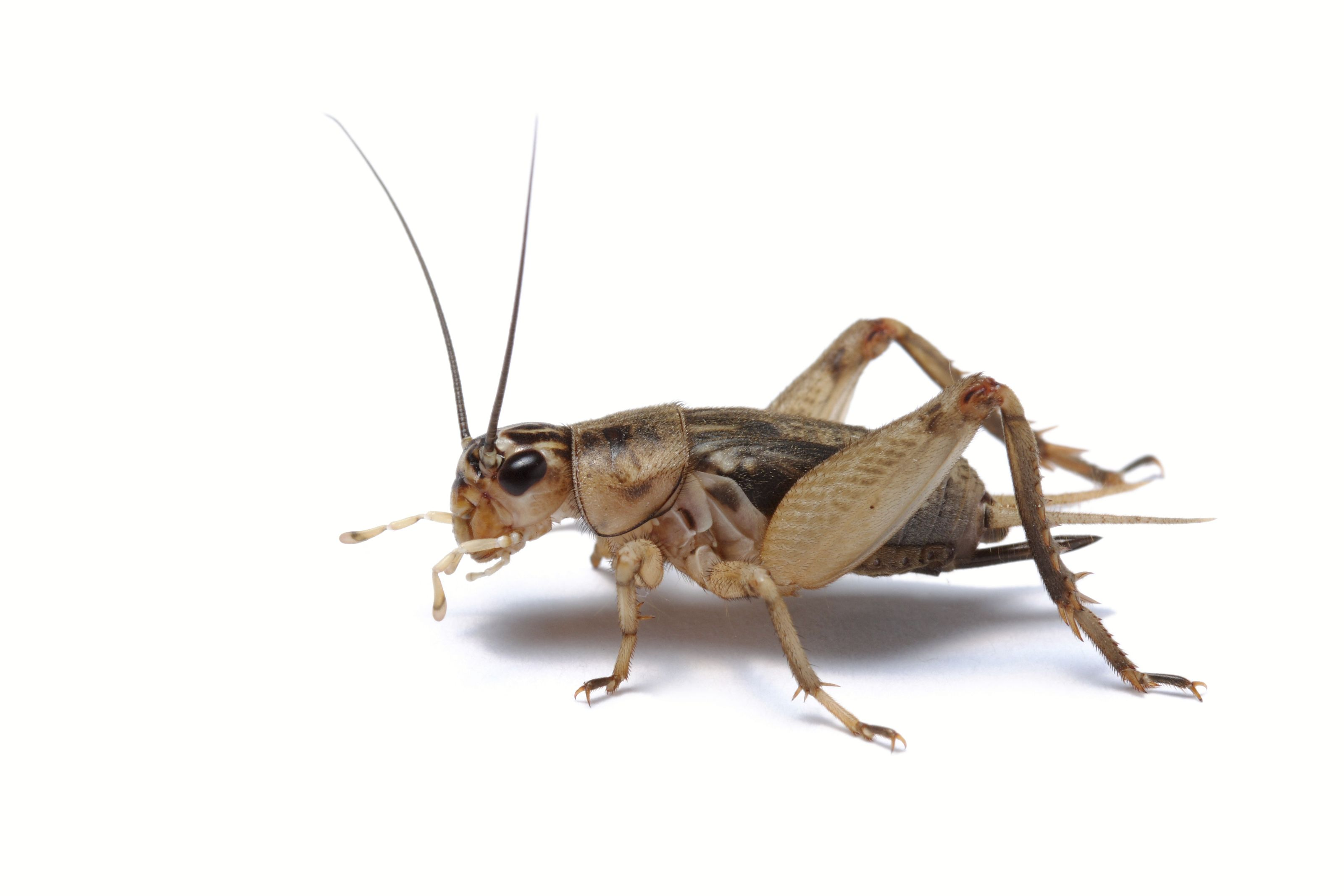 Crickets Cricket Insect Insects Cricket