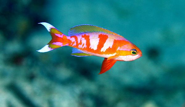 Pseudanthias Calloura Documented In Palau As Well As The Celebes
