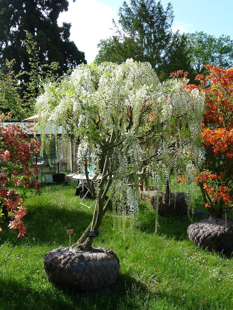 glycine en arbre blanche wisteria floribunda 39 alba. Black Bedroom Furniture Sets. Home Design Ideas