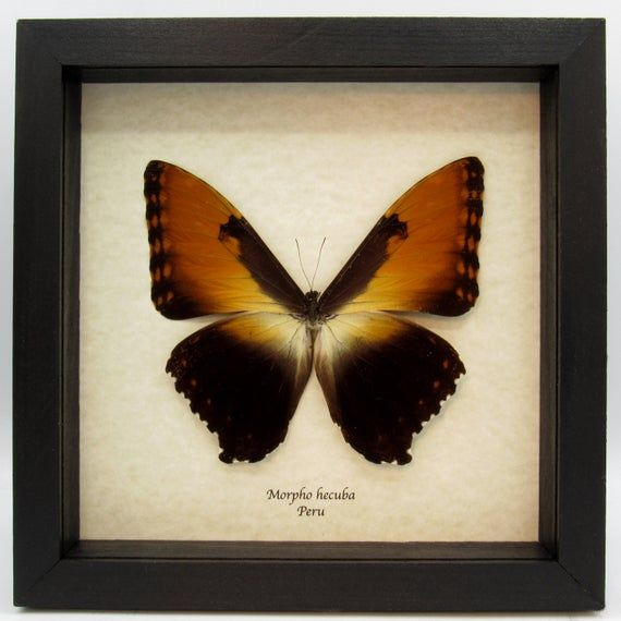 Massive real Morpho hecuba from Peru, presented in a 9.5