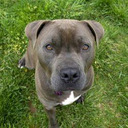 Adopt Bogey Adoption Pending On Mastiff Mix Mastiff Dogs