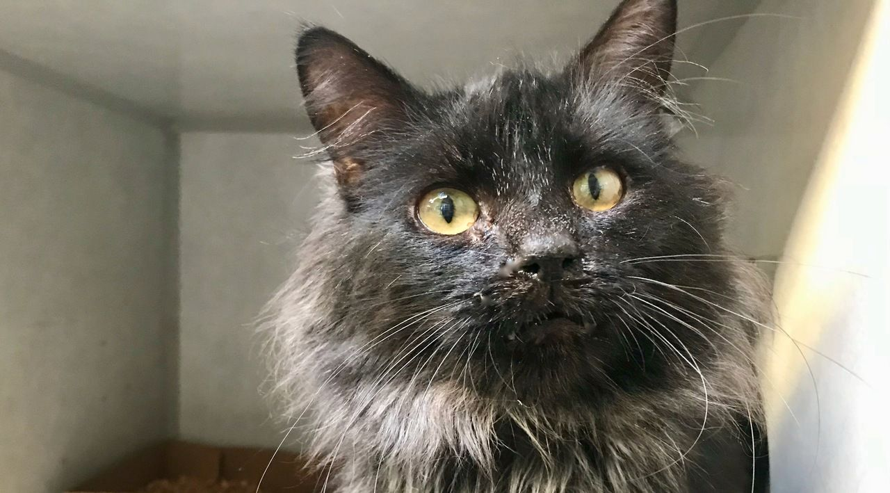 A male cat is available for adoption at the San Luis
