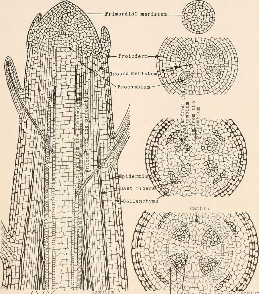 Image From Page 44 Of Plant Anatomy From The Standpoint Of The Development And Functions Of The Tissues And Handbook Of Micro Technic 1910 Plant Tissue Tissue Biology Teaching Biology [ 1024 x 904 Pixel ]