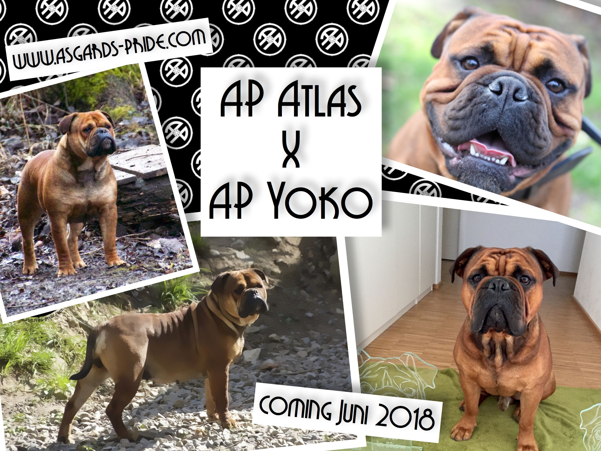 Our June Puppies Out Of Ap Atlas X Ap Yoko We Are Expecting Nice Bully Typed Continental Bulldogs Continental Bulldog Bulldogge Welpen