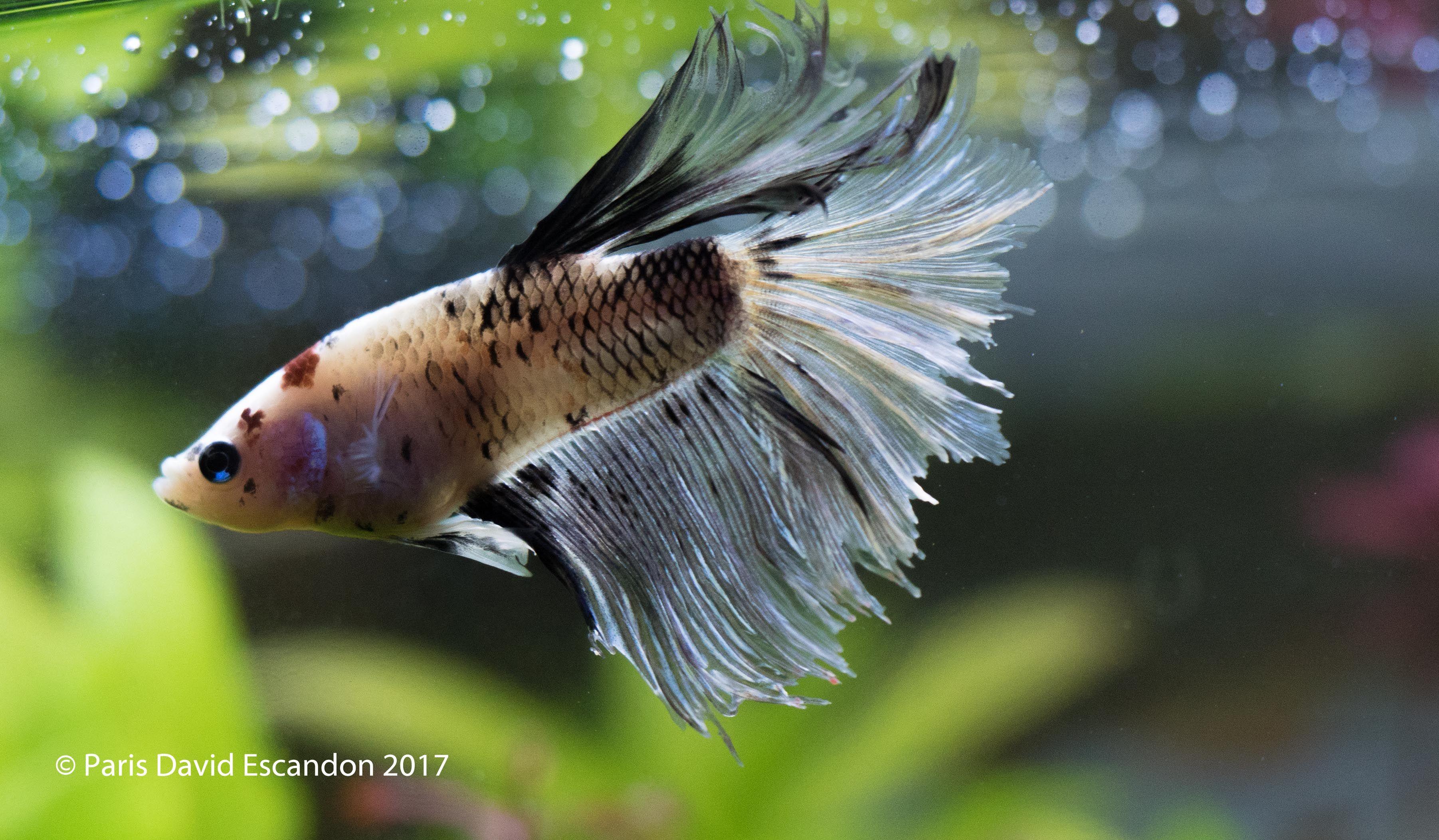 Koi Beta Fish Planted Aquarium Fish Pet Aquatic Plants