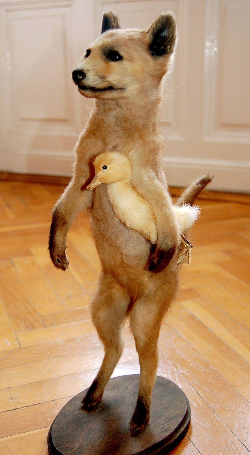 Fox With Duck Taxidermy Bad Taxidermy Bad Taxidermy Fox