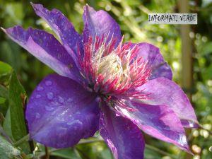 Cleamtis Ibrido A Fiore Grande Caratteristeche E Coltivazione