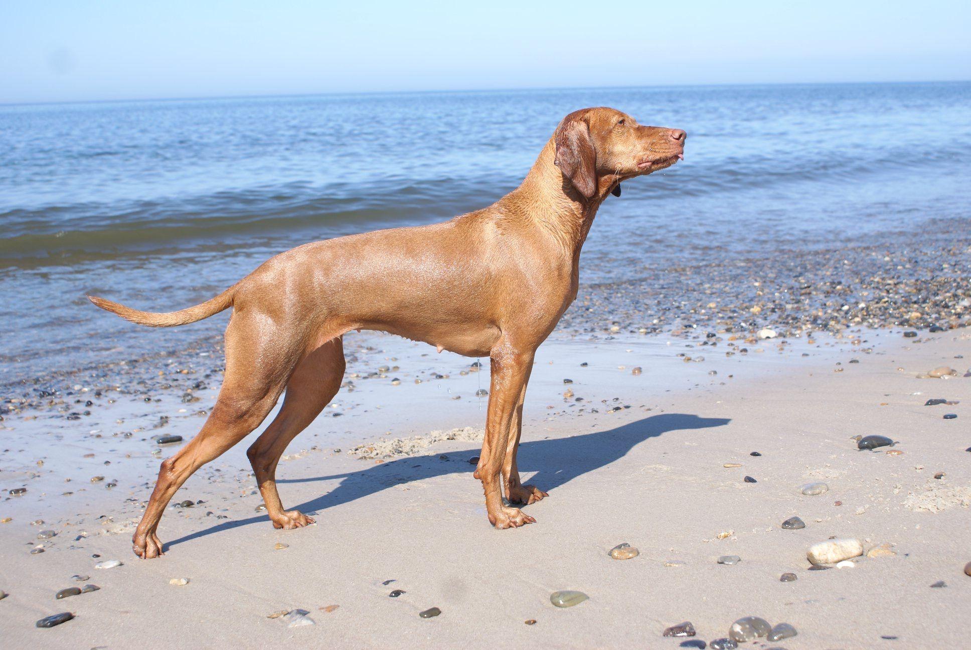 Vizsla Vizsla, Labrador retriever, Dogs