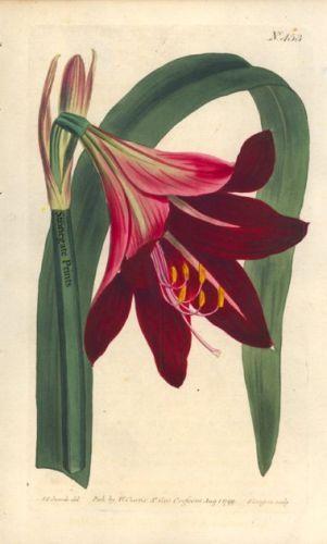 Stonegate Antique Prints William Curtis Amaryllis Raginae 1799 Botanical Drawings Amaryllis Painting Botanical Illustration