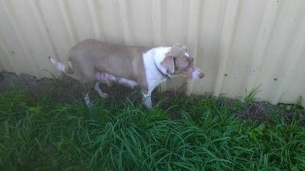 Australian koolie dog photo koolie x kelpie Dogs