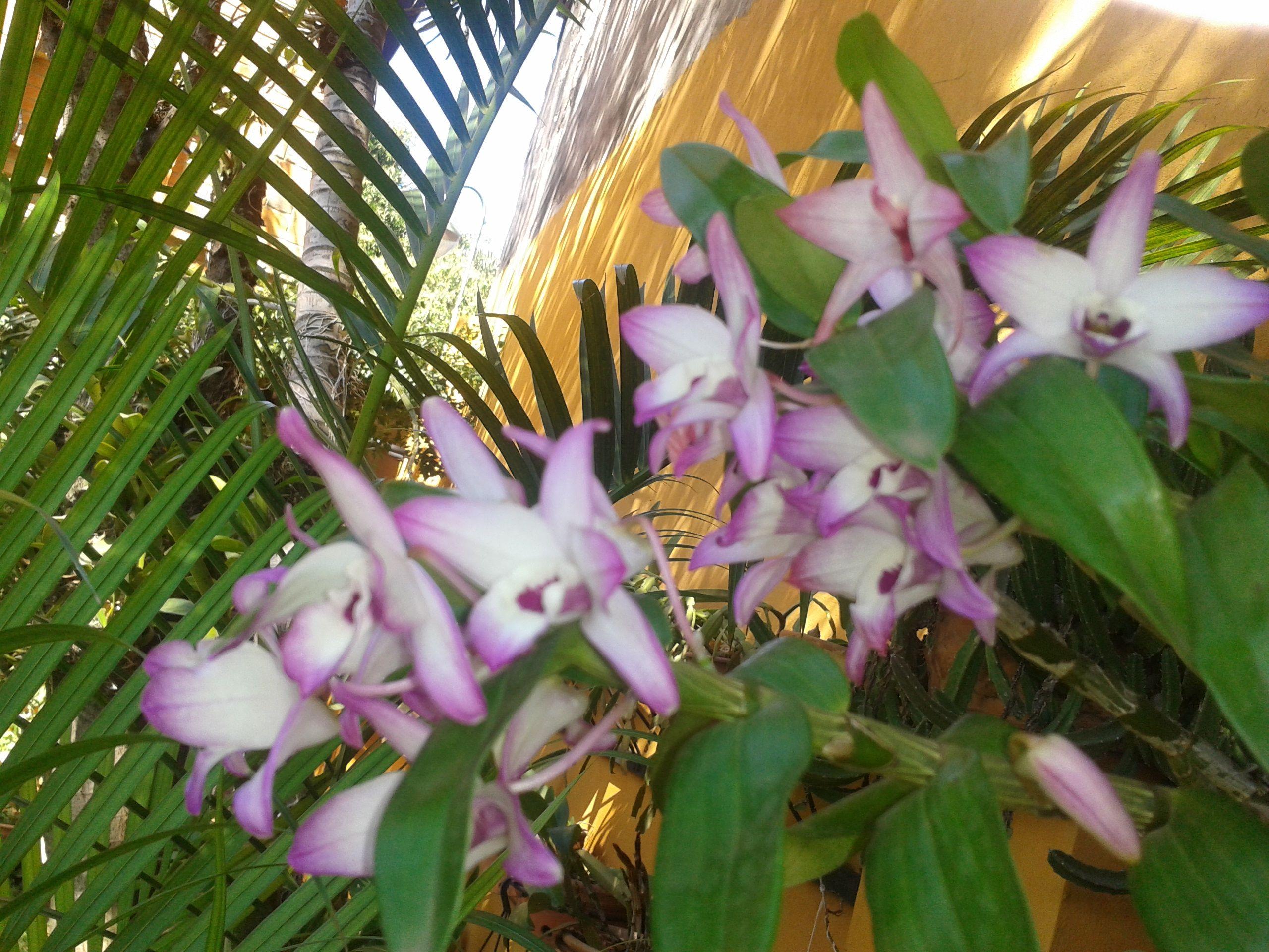 mis bellas orquideas