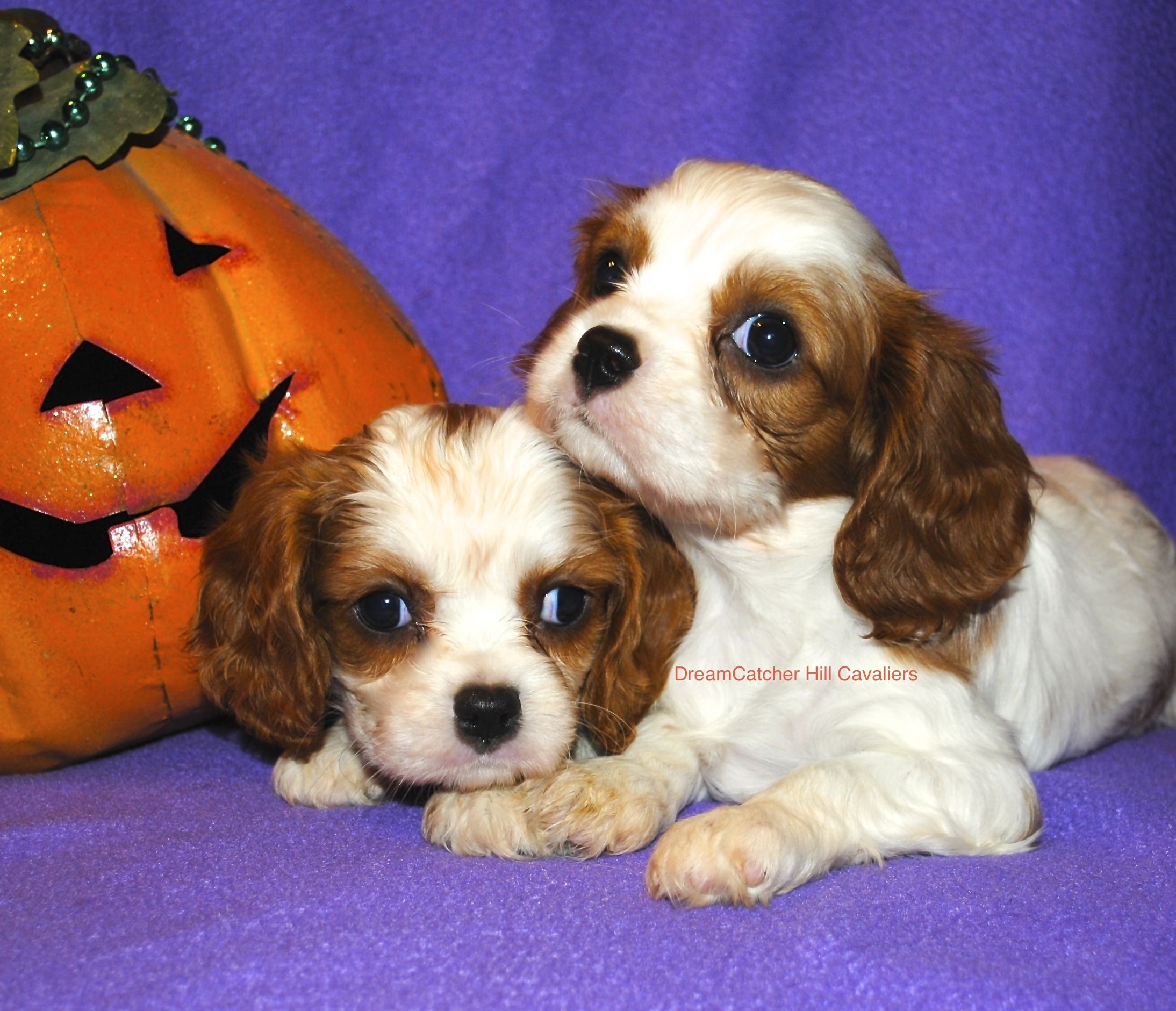 AKC Cavalier King Charles Spaniels! They have been adopted