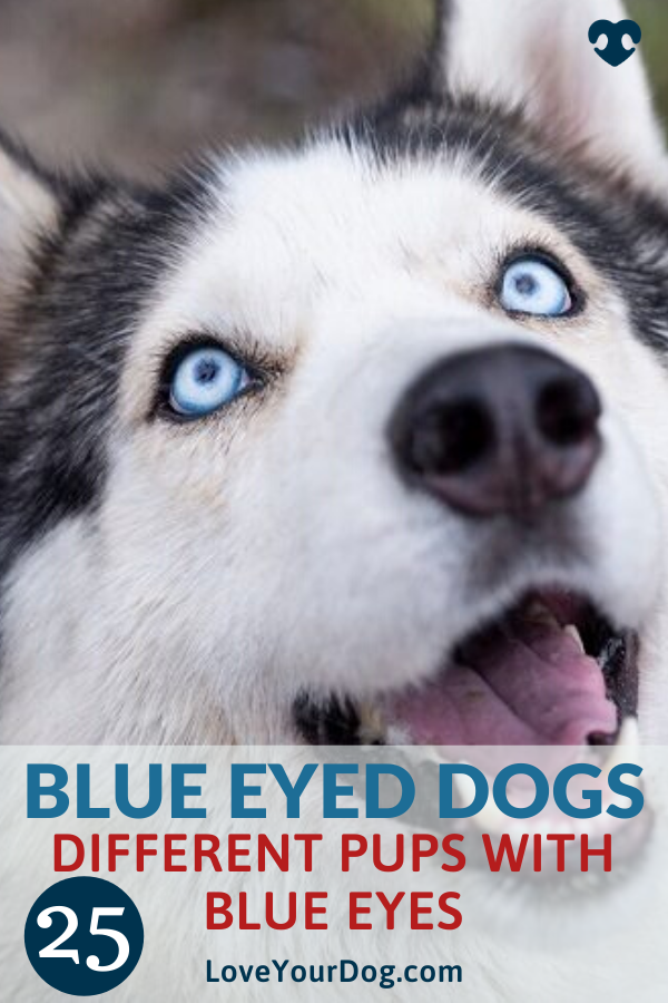 Blue Eyed Dog Breeds 25 Different Pups With Blue Eyes In 2020 Blue Eyed Dog Dog Breeds Dogs