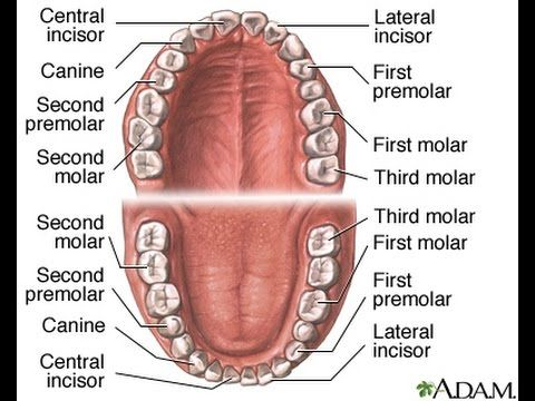 Image Result For Tooth Anatomy Tooth Pinterest