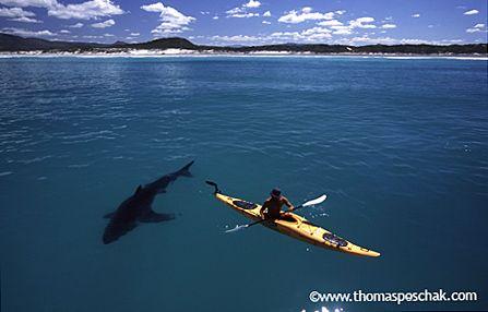 THOMAS P. PESCHAK: THE WHITE SHARK KAYAK STORY  (it's real...and my dream!)