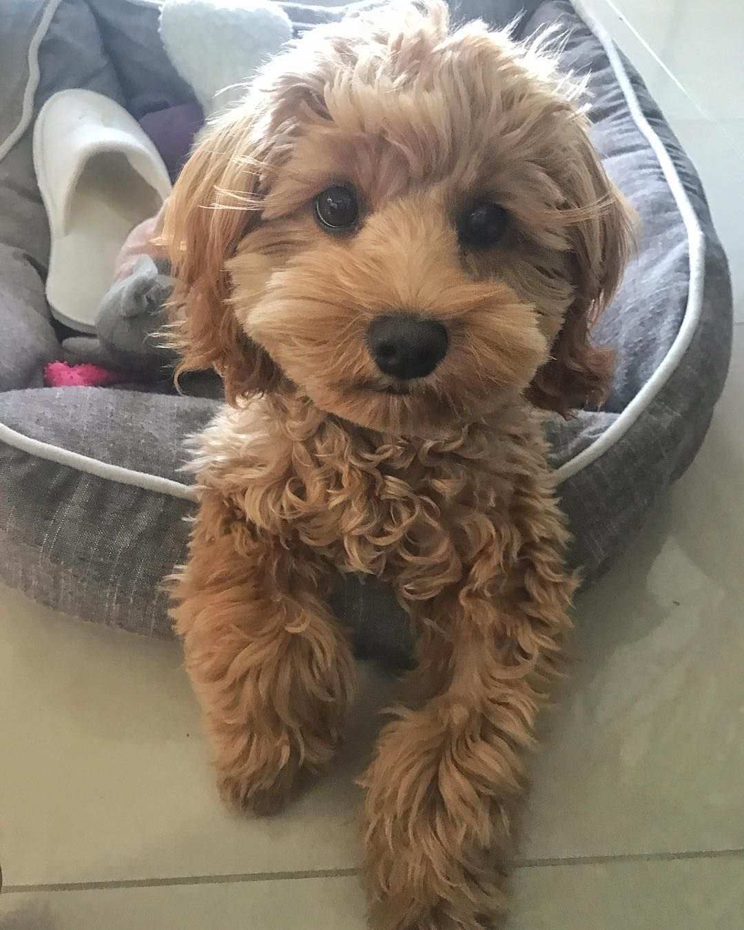 Peaches The Cavoodle On Instagram My Face When My Hoomans Make Up Yet Another Nickname For Me Some Of Teddy Bear Dog Beautiful Puppy Small Puppies
