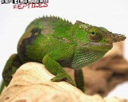 Dwarf Fischer S Chameleon For Sale Chameleons For Sale