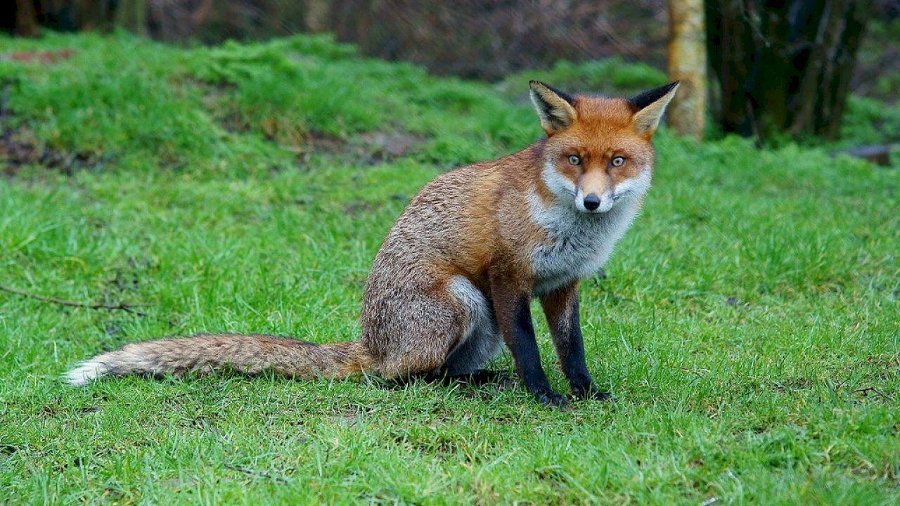 ما اسم أنثى الثعلب Young Fox Female Fox British Wildlife