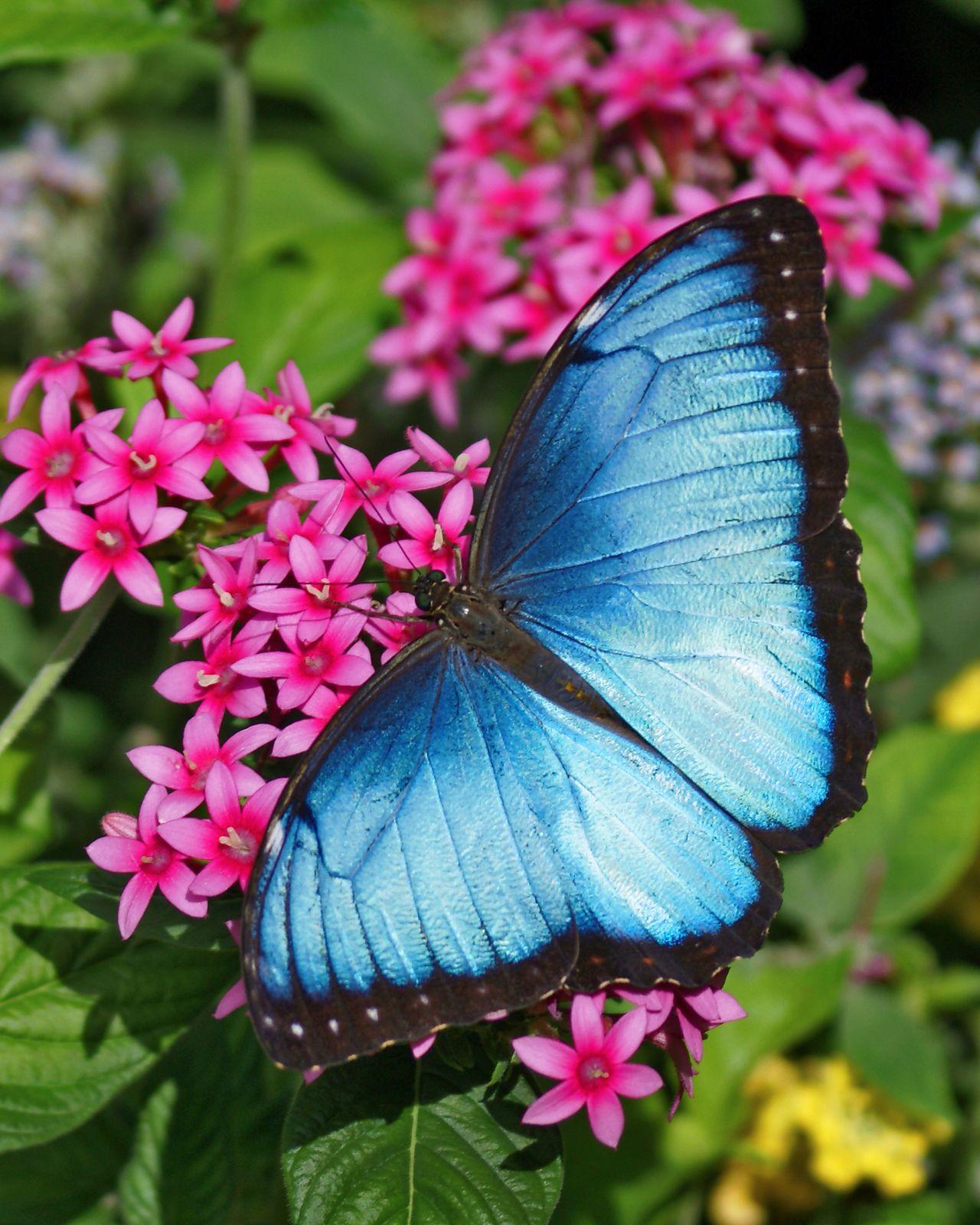 Astonishing blue morpho butterfly resting on flowers for Butterfly on flowers