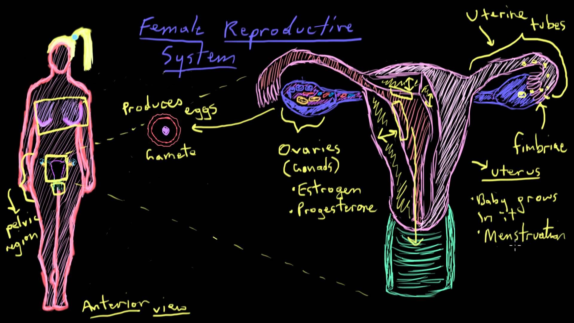 This informative video reviews the anatomy of the female ...