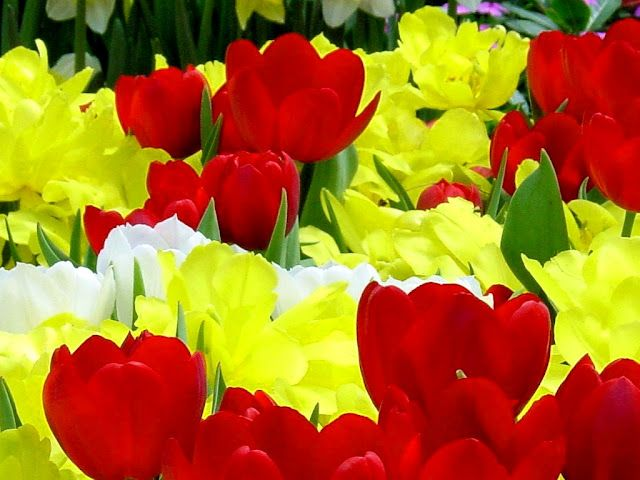 Vibrant red and yellow tulips