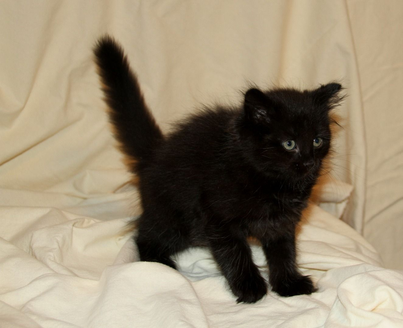 Siberians Kittens For Sale Hypoallergenic Cats Hypoallergenic Cats Siberian Cat Cats