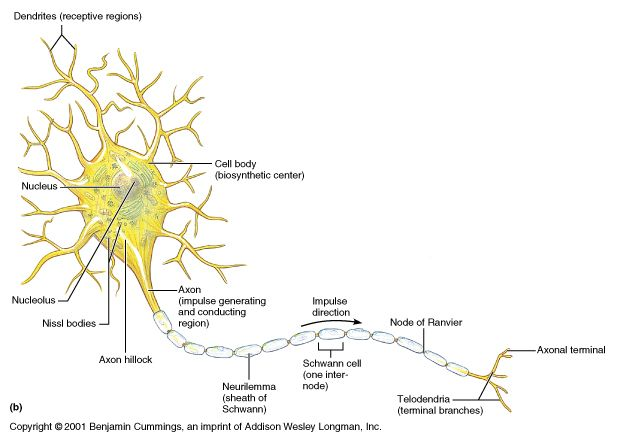 General Neuron Structure. The soma is the control center or body ...