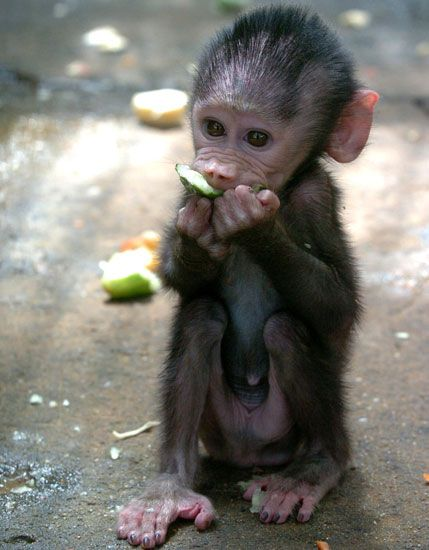 Name This Primate Baby Cute baby animals Animals