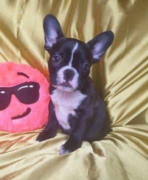 French Bulldog Puppy For Sale In Adrian Mi Adn 49714 On