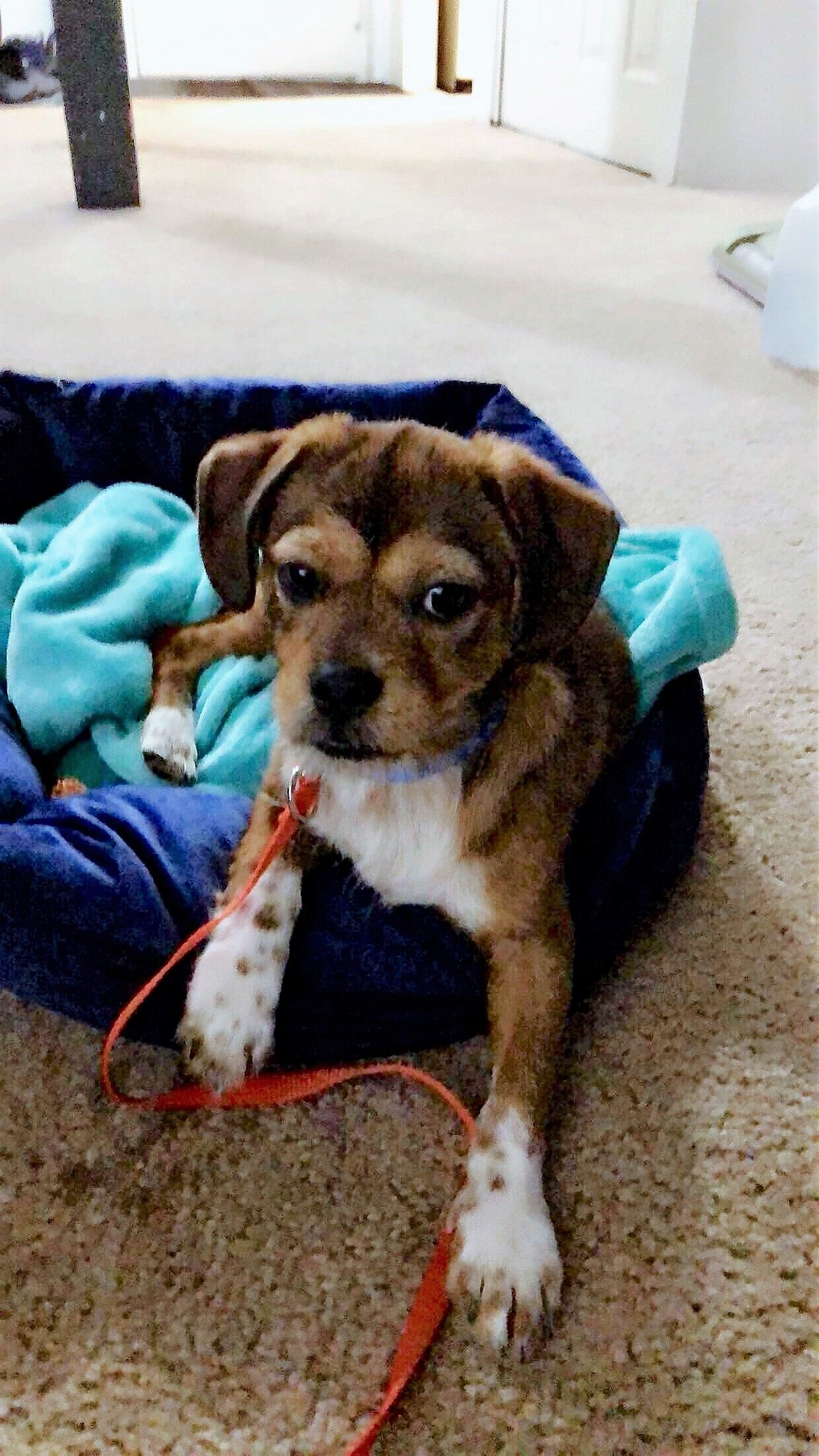 We Just Adopted A Rescue Puppy From Spca Of Southwest Michigan We
