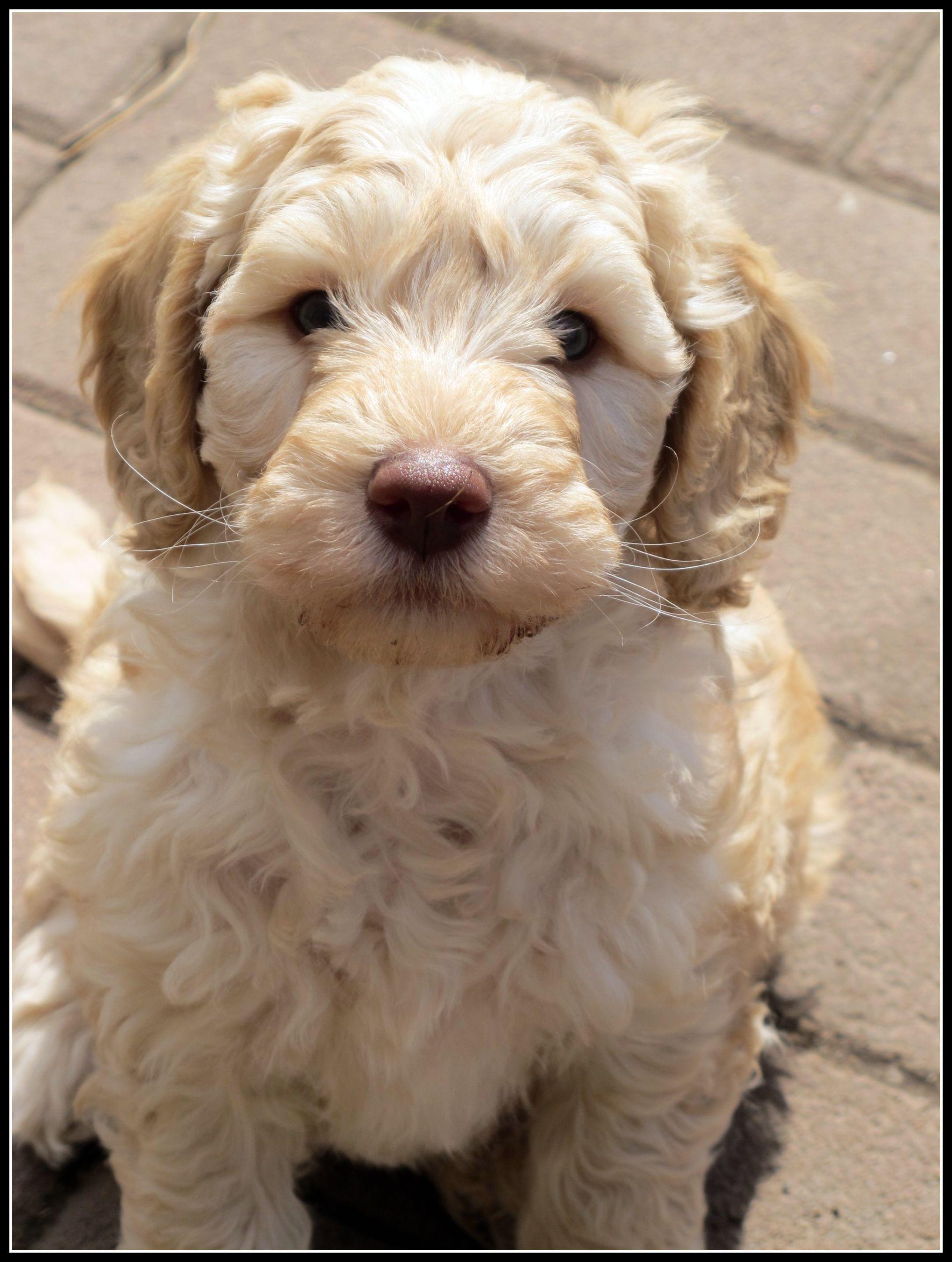 Australian Labradoodle Puppies For Sale Uk 2021