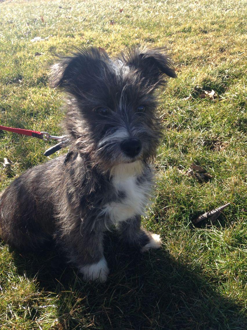 West Highland Terrier Mix Puppies West Highland Terrier ...