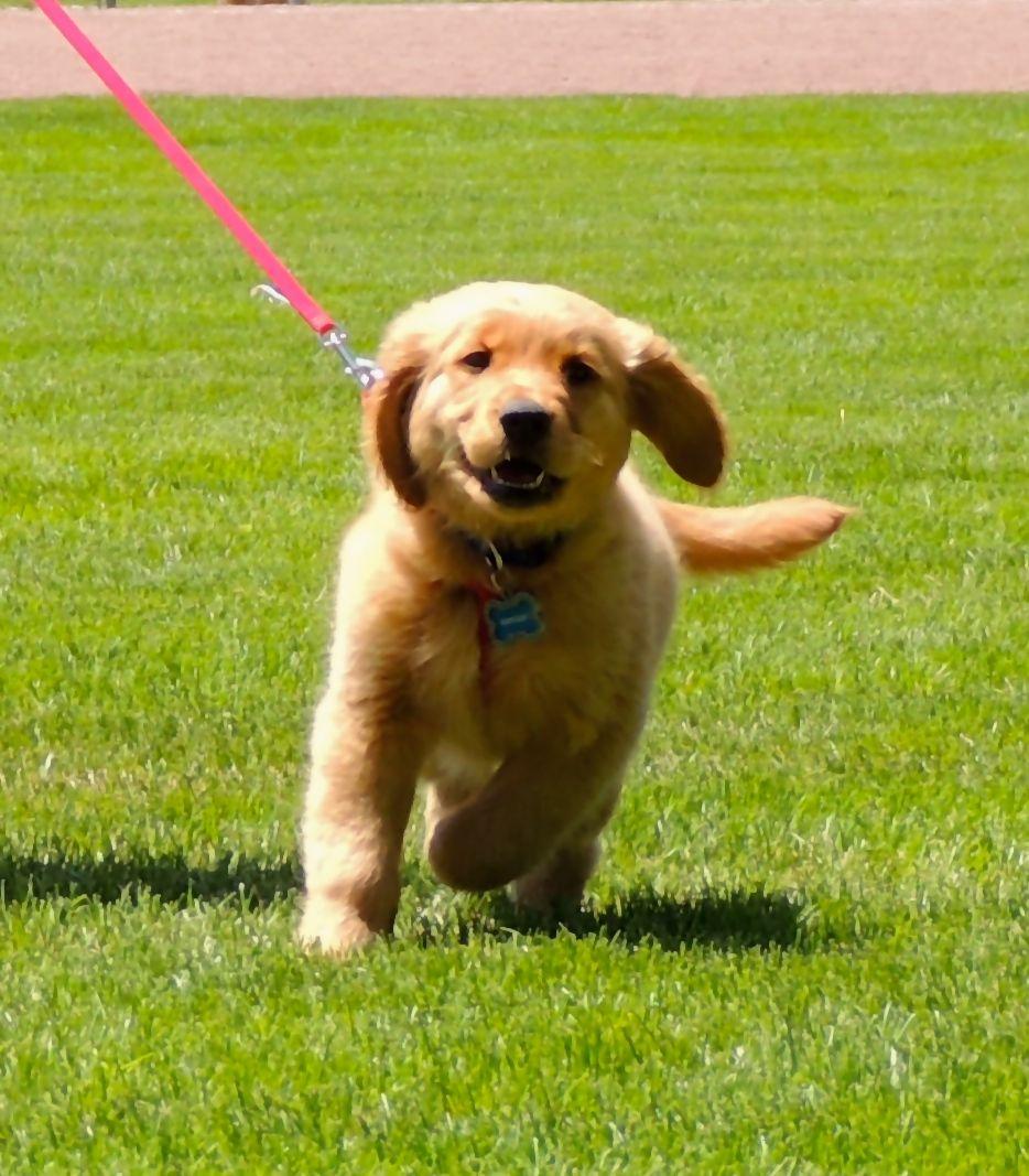 Brinkley Golden Retriever Puppy Retriever puppy