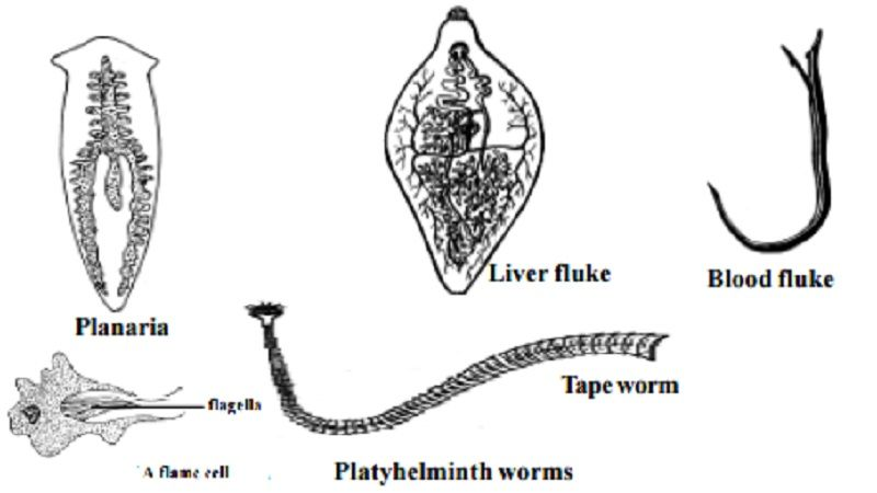 pin by hunter simmons on phylum platyhelminthes