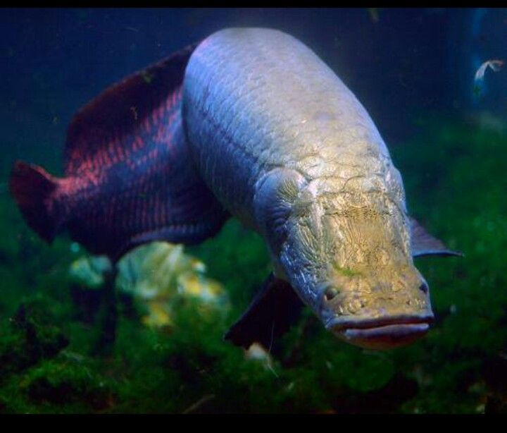 11 largest freshwater fish in the world tropical for Exotic tropical fish