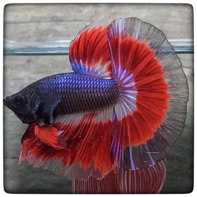 AquaBid.com -  Red Dragons Butterfly (1154)